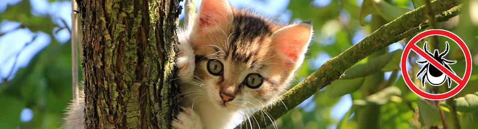 Kullancs a macskában - Miért veszélyes ez?