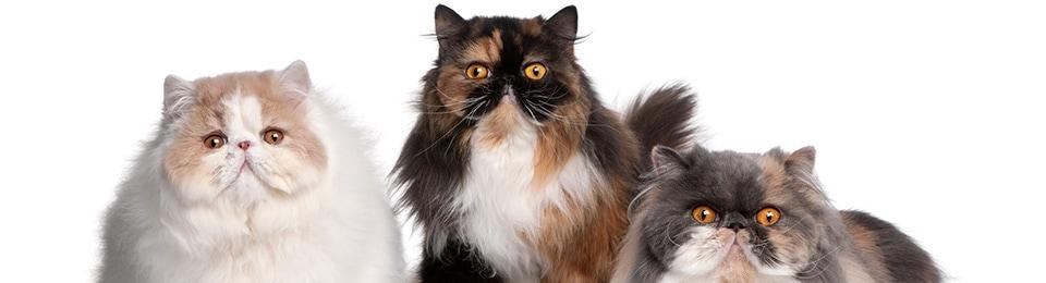 Perzsa macska - Az egyik legismertebb macskafajta