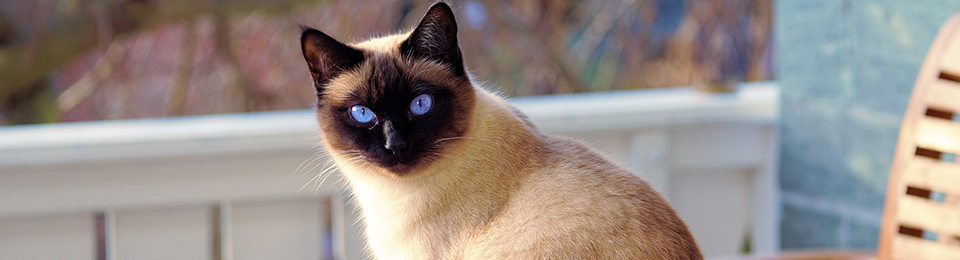 Sziámi macska - 5 titok, melyet nem biztos, hogy tudtál róluk